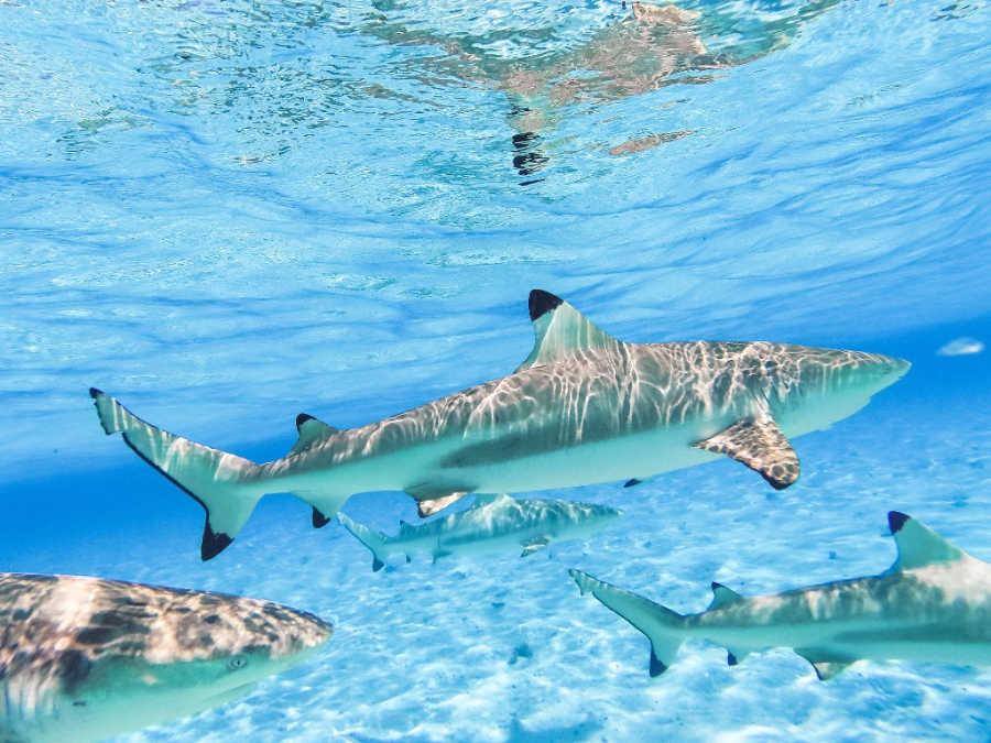 shark in French Polynesia