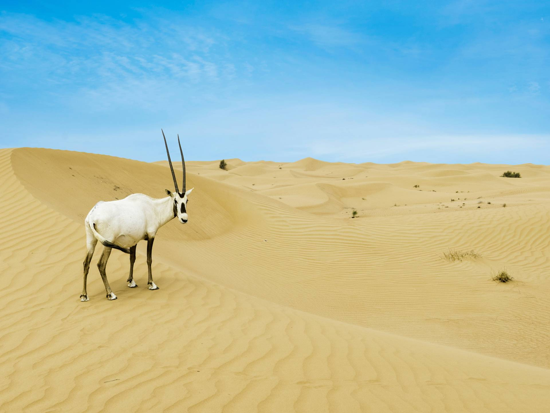Arabian Oryx in the UAE