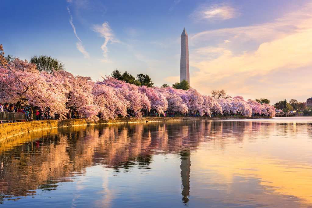 cherry blossom trees in DC.