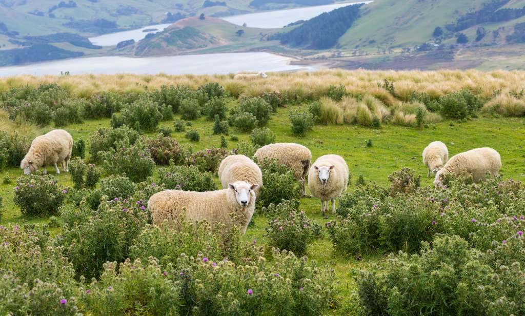 sheep in Central Otago.