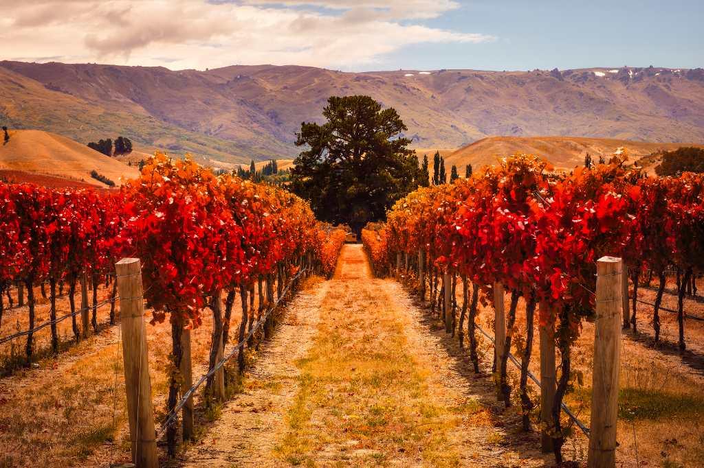 vineyards in Central Otago.