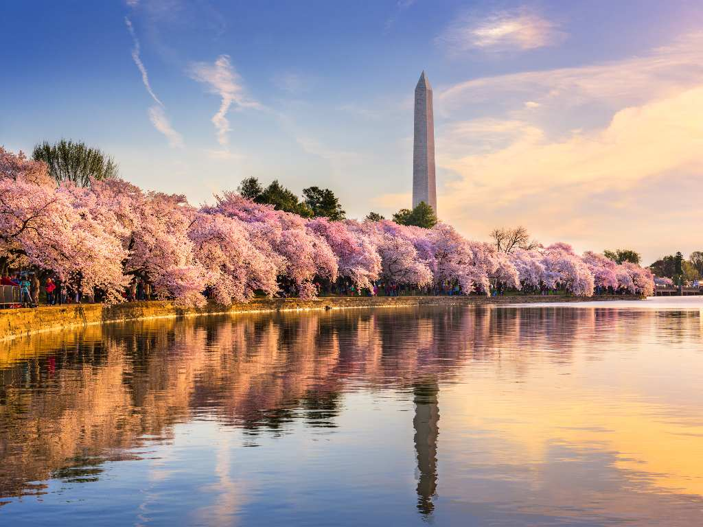 cherry blossom trees in Washington, DC
