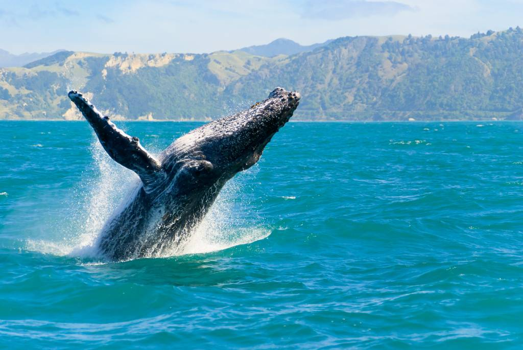 whale breaching in water off Maui.