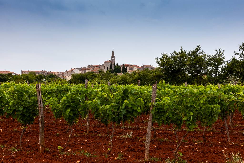 a vineyard in Istria with the region's red soil.