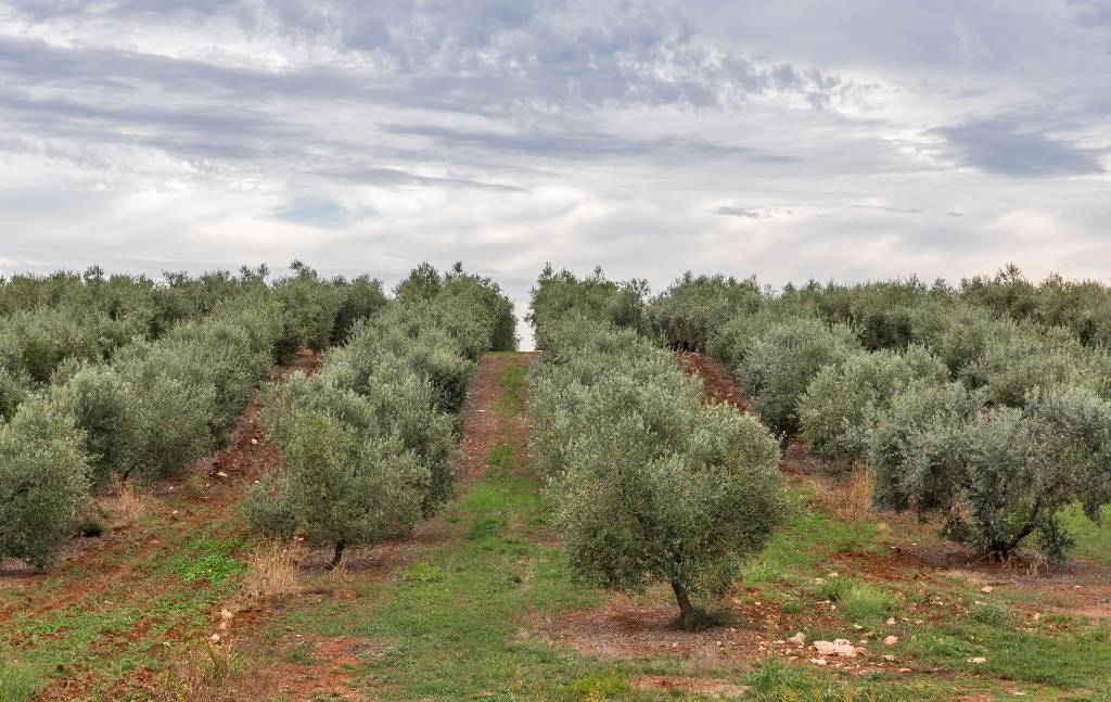 grove of olive trees in Istria.