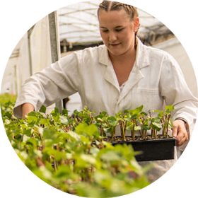 Person tending to Kiwifruit seedlings in KVH certified nursery in bay of plenty, Person working in KVH certified nursery in new zealand, bay of plenty