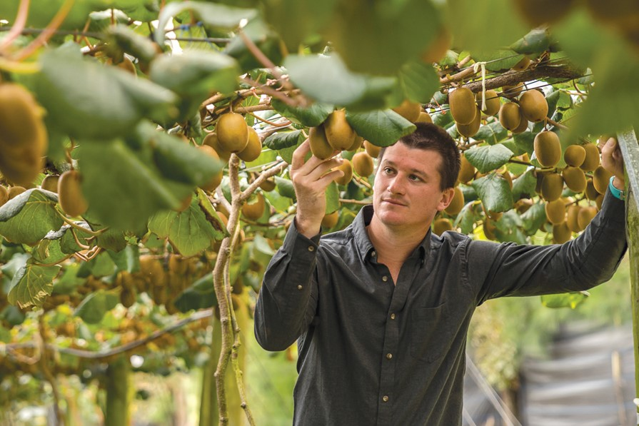 Invest with southern cross horticulture, Orchard manager looking closely at golden kiwifruit on vine