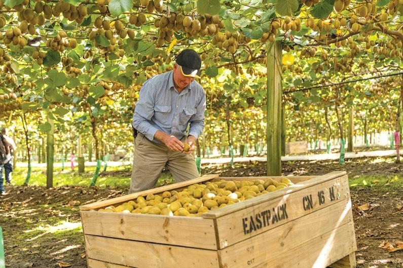 Chris Dunstan picking up kiwifruit from wooden box