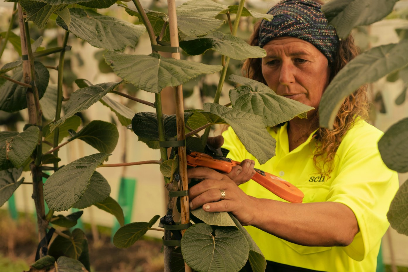 A unique business model, Liberty Orchard Developed By Southern Cross Horticulture in Bay of Plenty