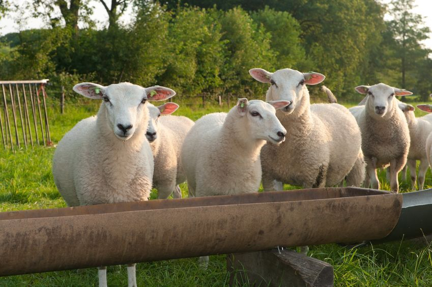 Maternal Impressions: From Sheep to Humans