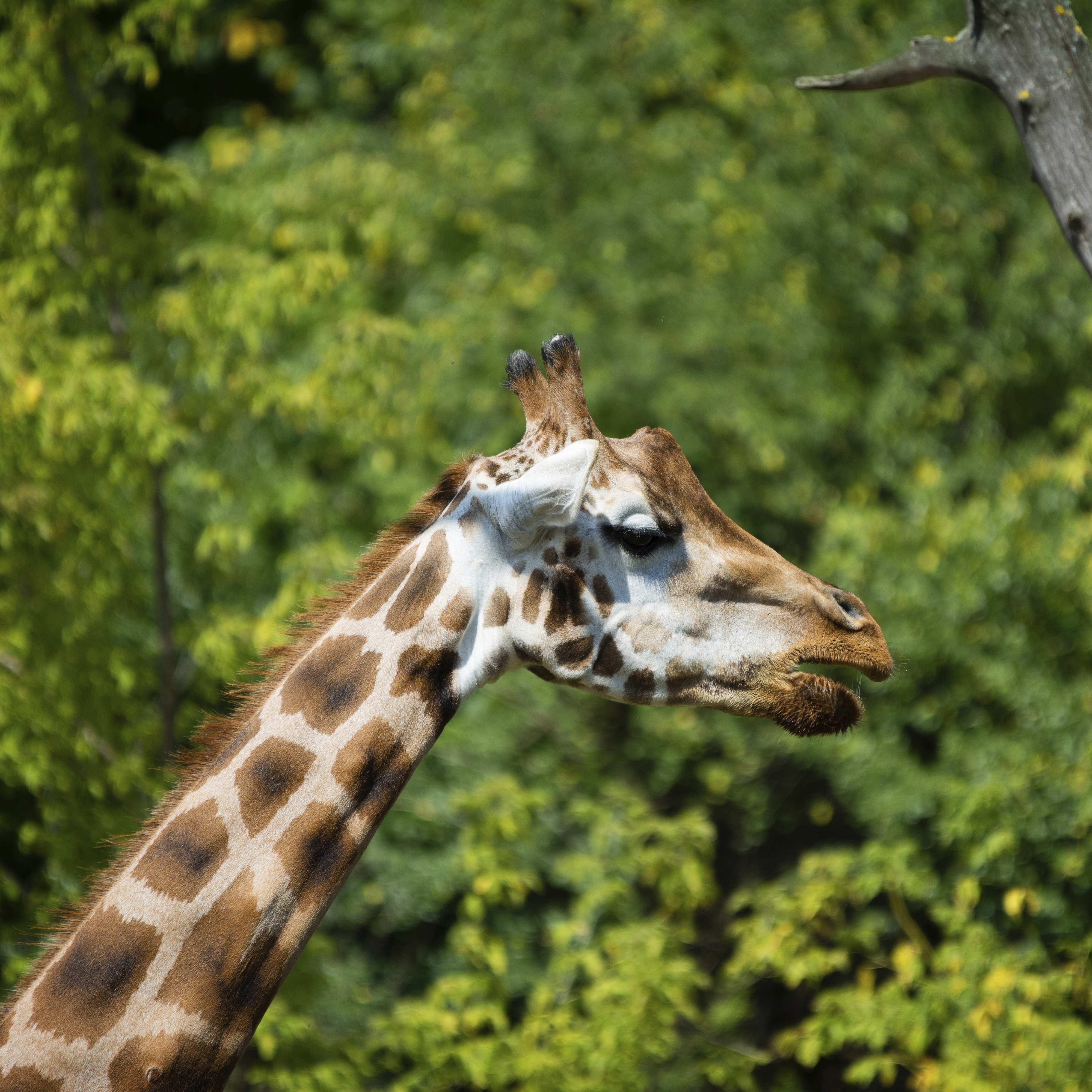 Giraffe Prague Zoo