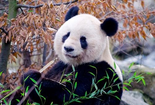 Vienna Zoo Panda