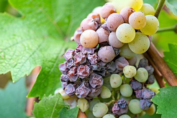 Tokaj Grapes