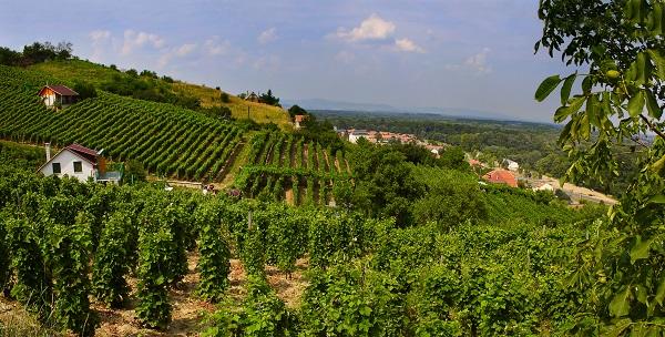 Tokaj Vineyards