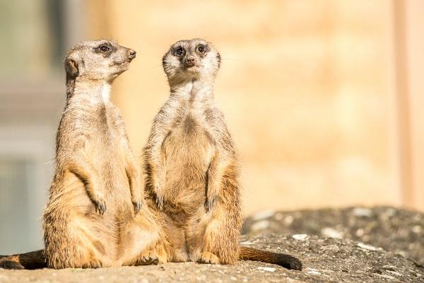 Basel Zoo Meerkats