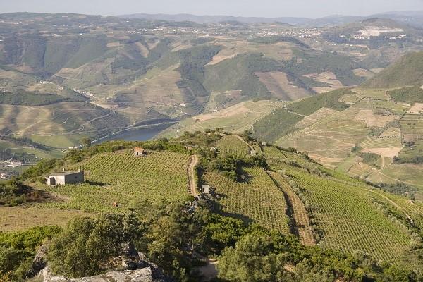 Vineyard Near Regua