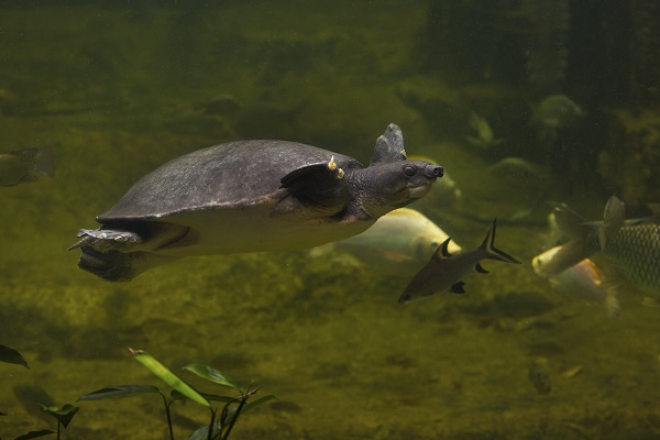 Turtle In Sepik River