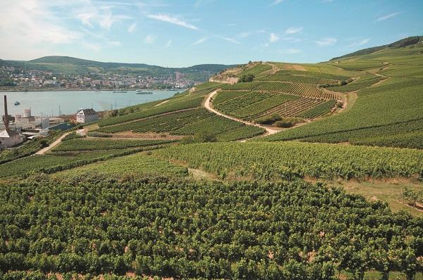 Rhine Vineyard