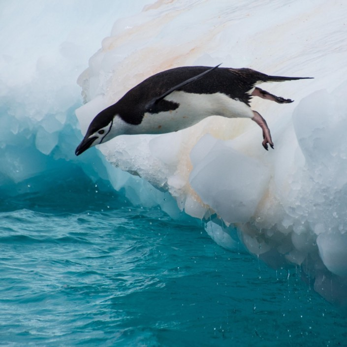 What Chinstrap Penguins Tell Us About the Health of the Antarctic Ecosystem