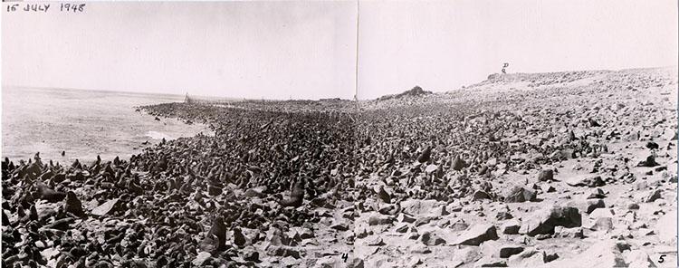 St Paul Island Reef rookery, 1948
