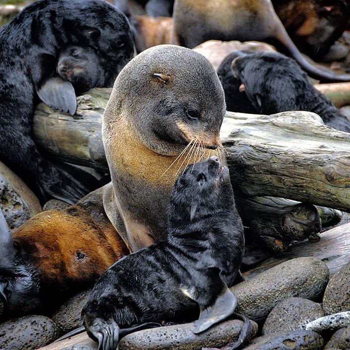 Using Ocean Drones to Track Fur Seals in the Bering Sea