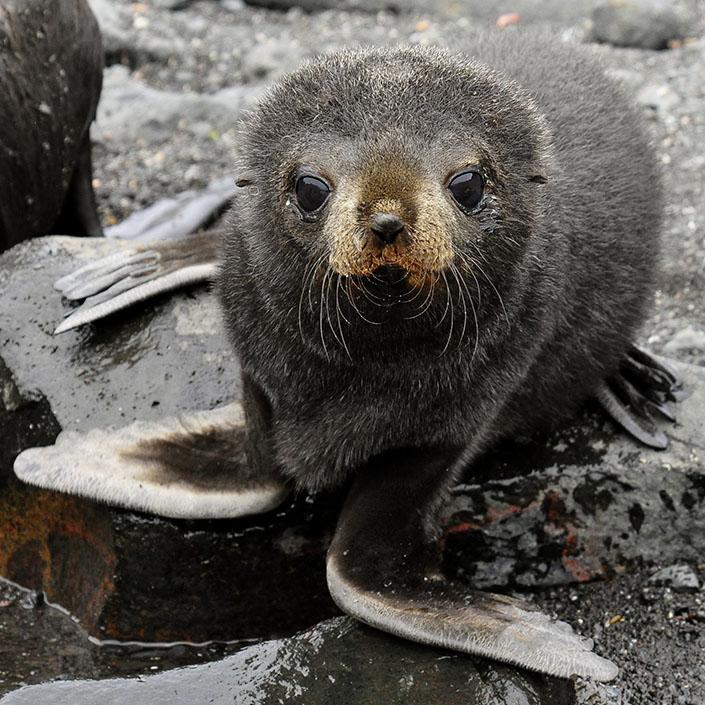 Antarctic Fur Seals As an Indicator of a Changing Ecosystem