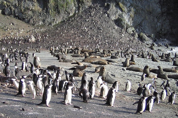 Antarctic fur seals and chinstrap penguins on Seal island