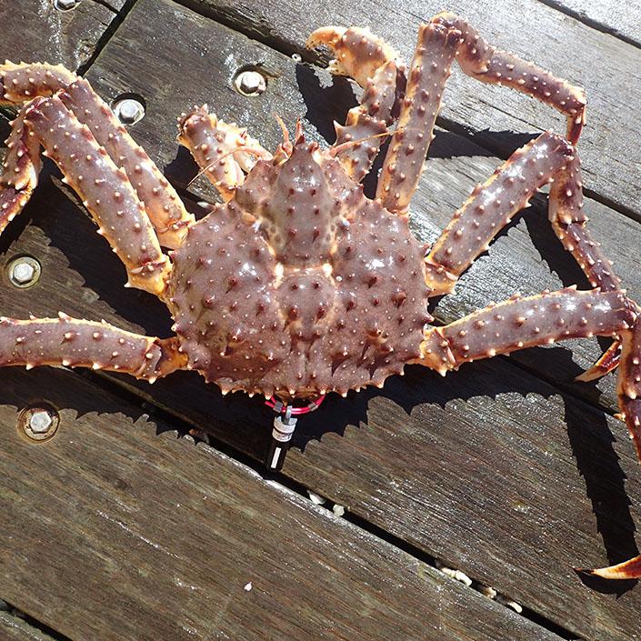 Tracking Alaska Red King Crabs Using Saildrones