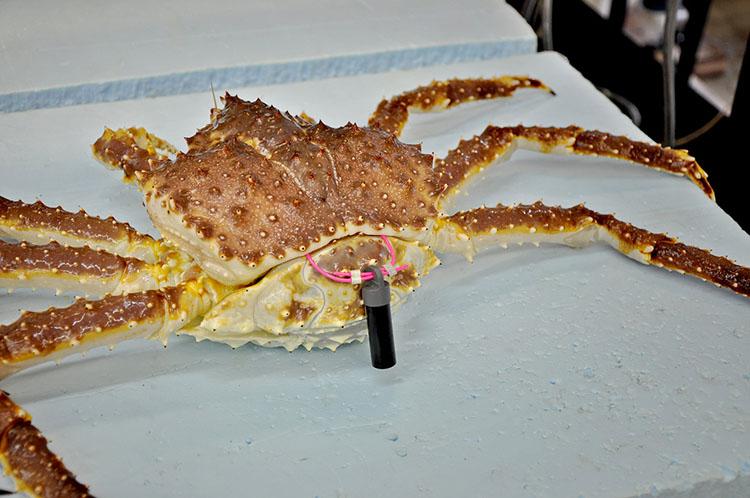 Tagged Alaska red king crab