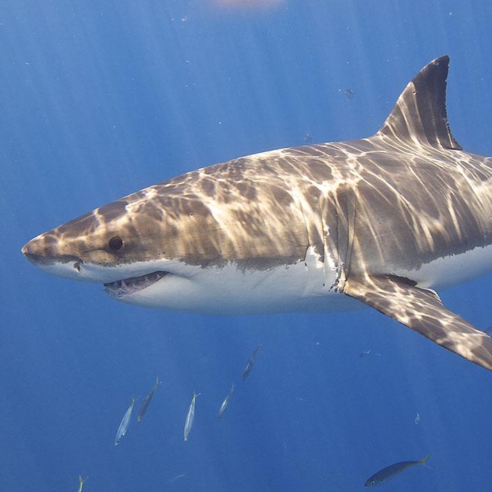 The White Shark Café: Saildrones Augmenting Ship Operations (Video)