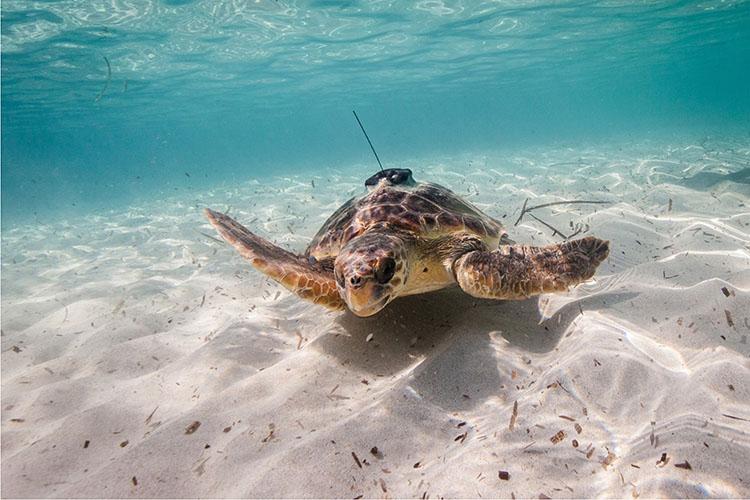 Oceanographic sea turtle