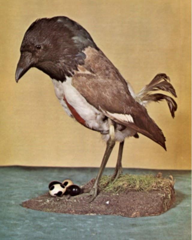 bird hoax