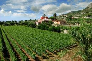 Ischia Vineyards