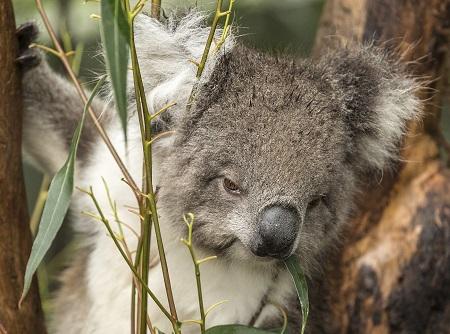 Koala Healesville Sanctuary
