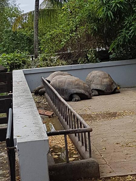 Tortoises Mauritius