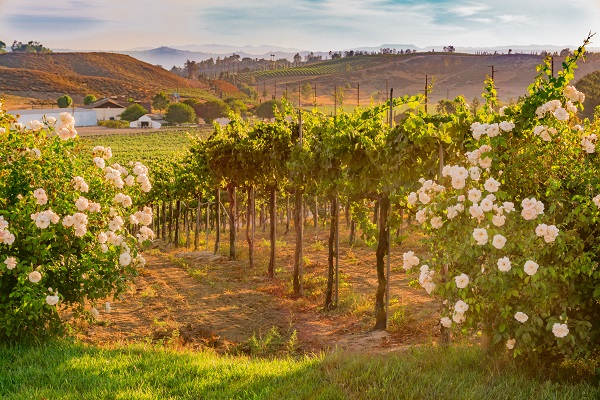 Vineyard Temecula