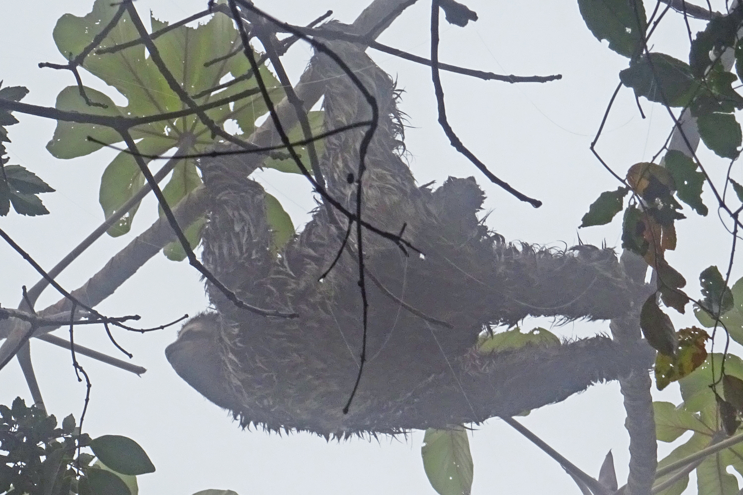 Tijuca Rainforest Sloth
