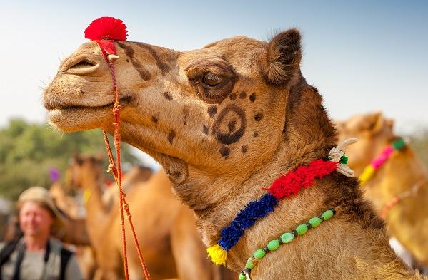Camel In Fancy Dress