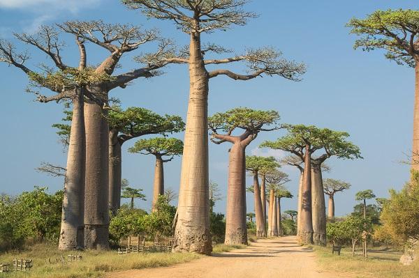 Avenue de Baobab Madgascar