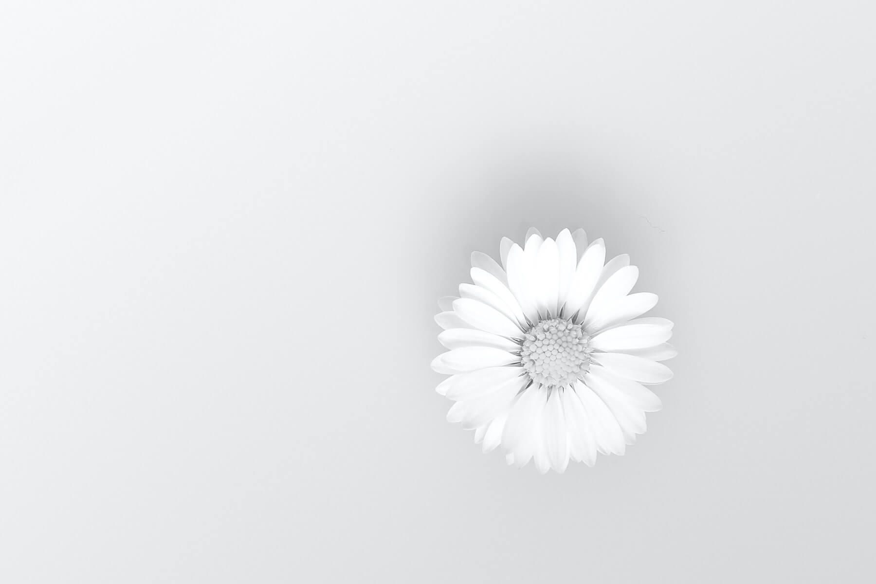 daisy flower on white background nursing daisy award compassion fatigue in nursing