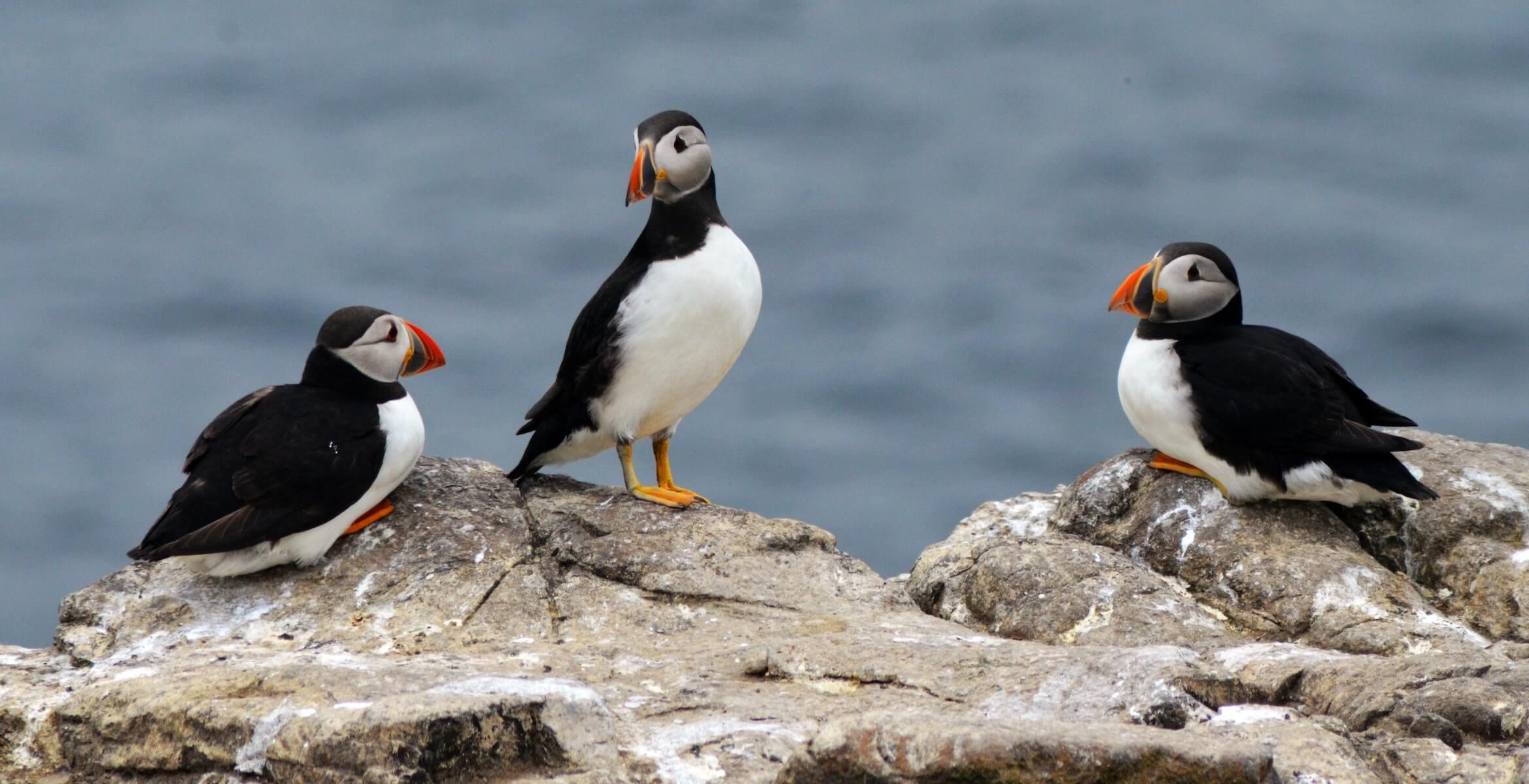 three pelicans sitting on rock overlooking ocean travel nurse trio
