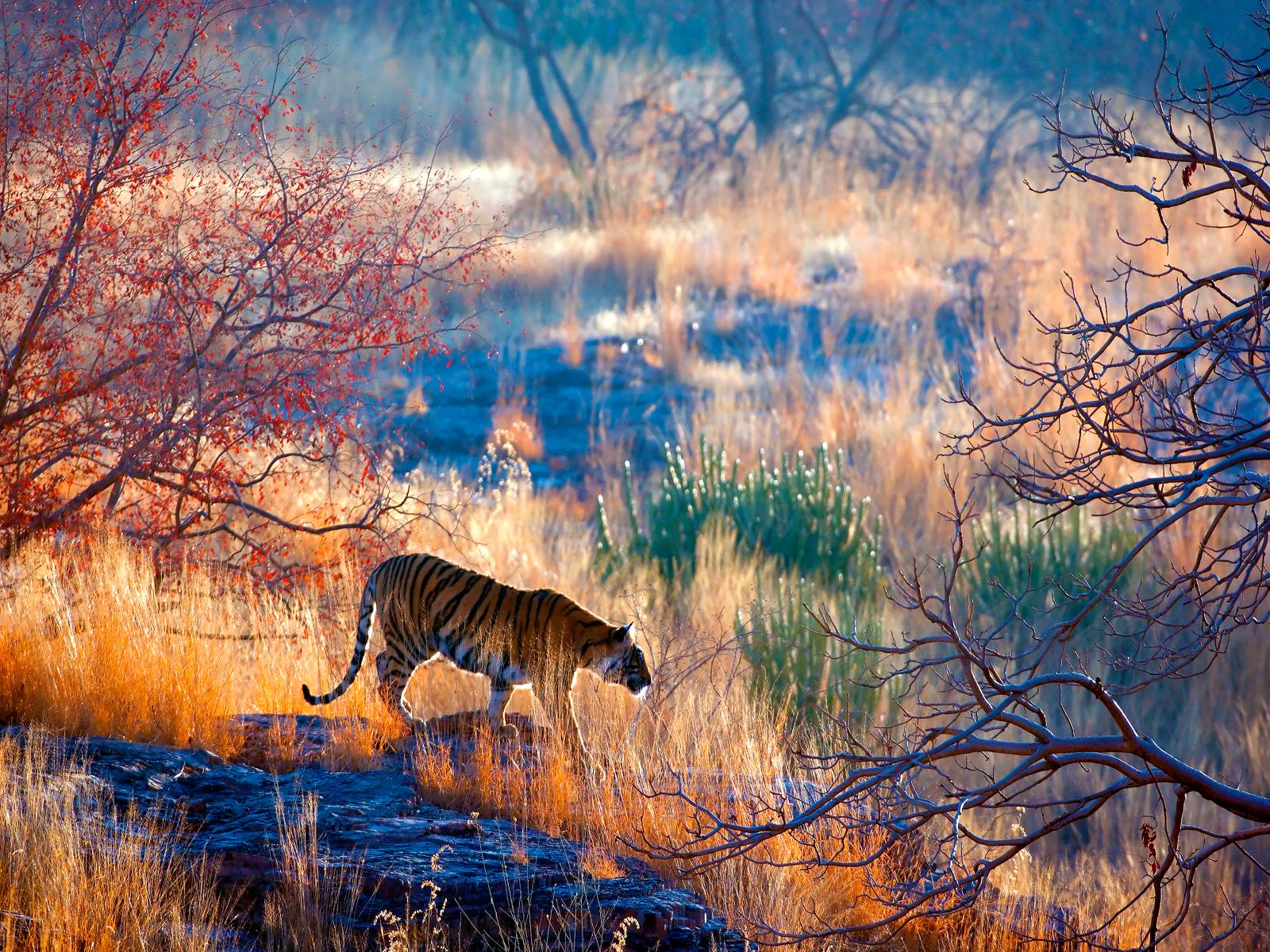 Tiger Kaziranga