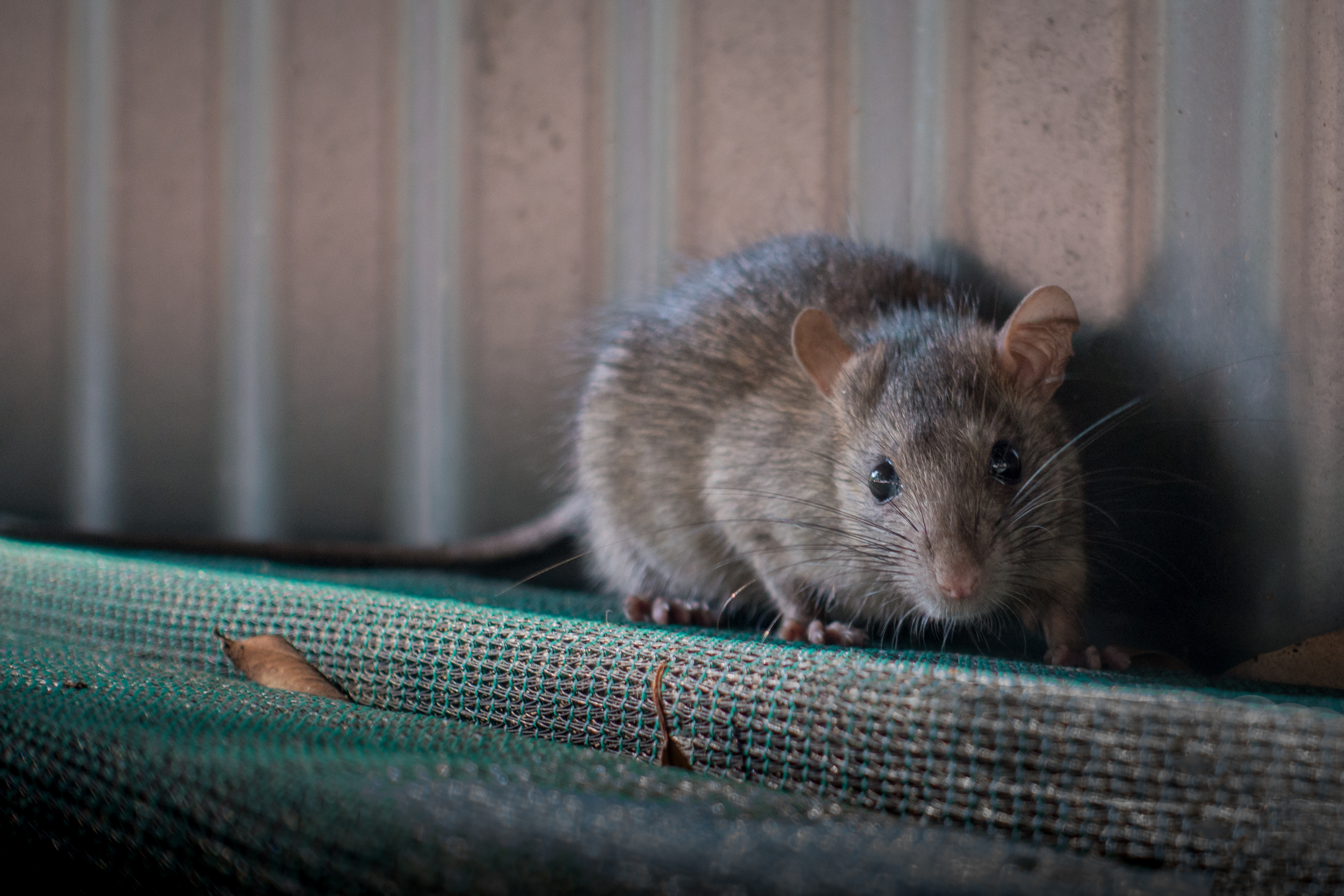 How to get rid of rats in New Zealand