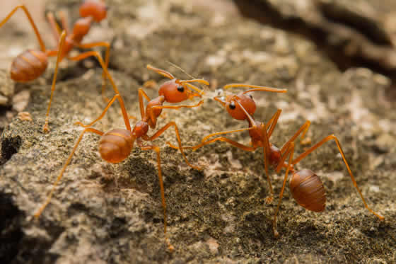 Close up of three fire ants on ground
