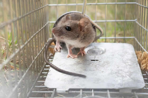 Mouse caught in outside cage trap