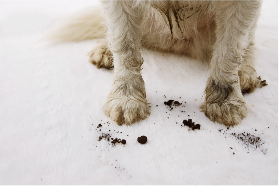Remove dog stains from Carpet