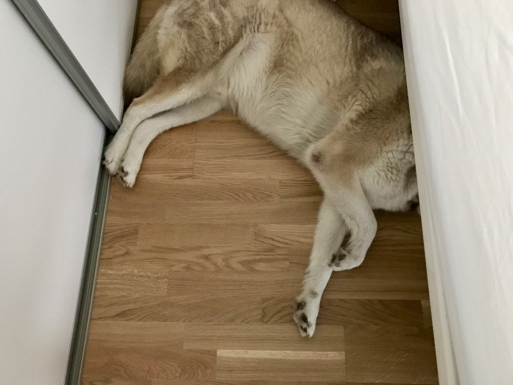 A do lays on the floor with its head hidden under the bed. Photograph.
