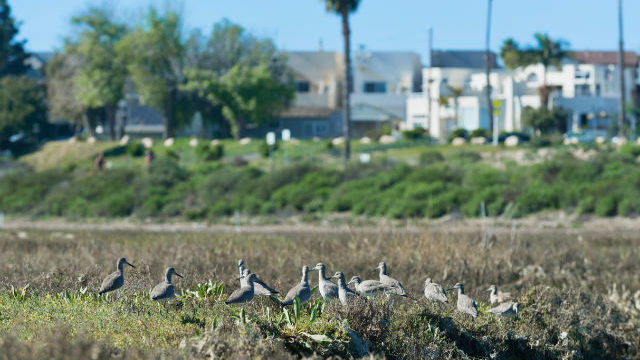 San Diego Must Protect and Restore Mission Bay's Vital Wetlands