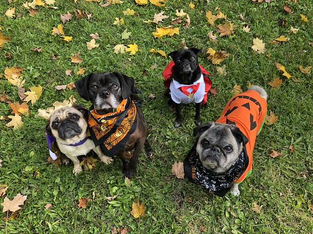 halloween dog walk for charity in hampstead london
