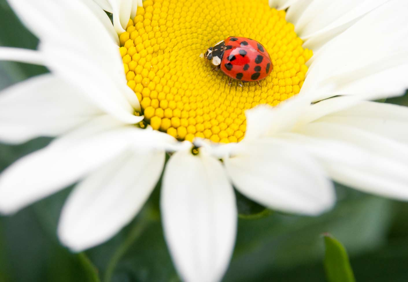 ladybird in the middle of a daisy